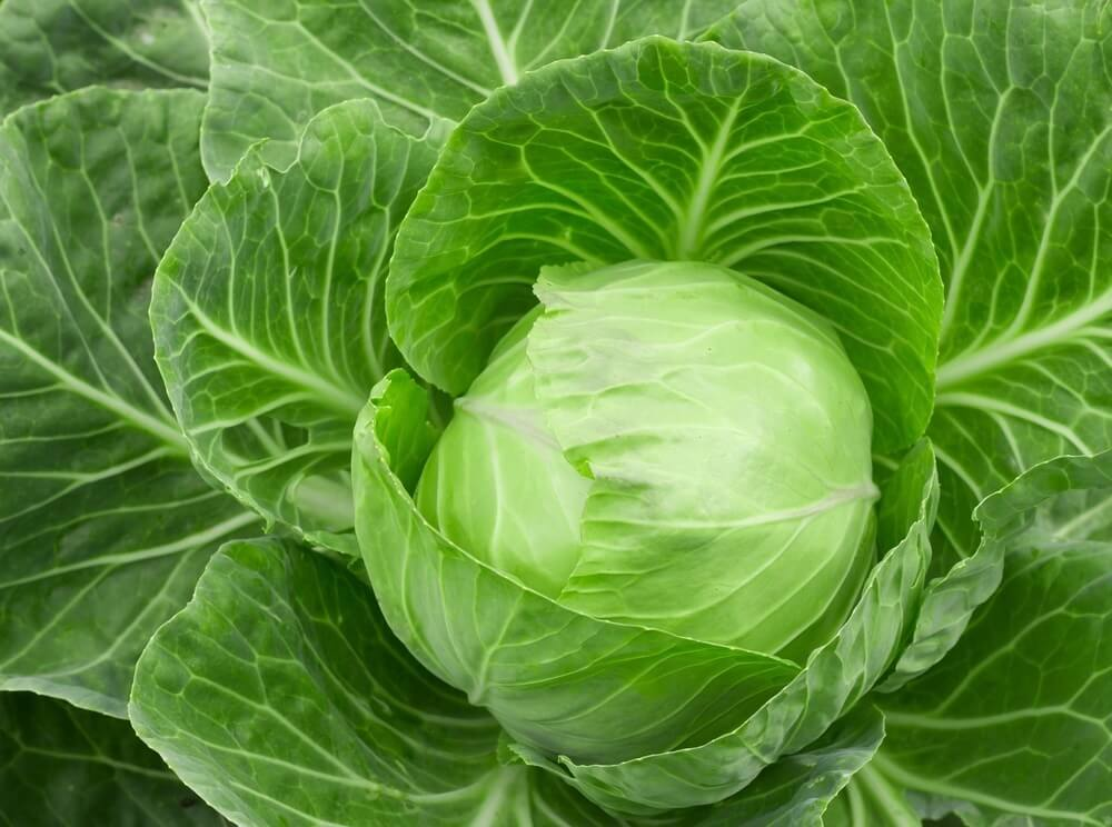 green cabbage head is loaded with glutamine
